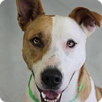 Pharaoh Hound/Labrador Retriever Mix Dog for adoption in Yukon, Oklahoma - Fairy