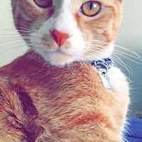 Adopt A Pet :: Bowie - San Bernardino, CA