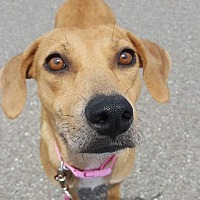 Adopt A Pet :: Belle - Ft. Myers, FL