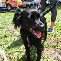Spaniel (Unknown Type) Mix Dog for adoption in Boca Raton, Florida - Summer