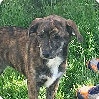 Adopt A Pet :: Bella - Iowa, Illinois and Wisconsin, IA