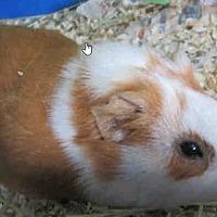 Adopt A Pet :: *Urgent* Butter - Fullerton, CA