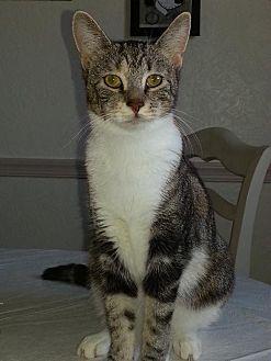 Domestic Mediumhair Cat for adoption in Philadelphia, Pennsylvania - Edie *Video*