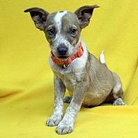 Adopt A Pet :: Eli - Westminster, CO