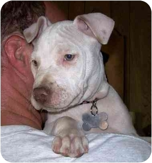 American Pit Bull Terrier Puppy for adoption in West Los Angeles, California - Nick