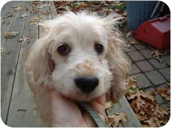 Cocker Spaniel Dog for adoption in Toledo, Ohio - BLOSSOM