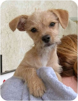 Poodle (Miniature)/Terrier (Unknown Type, Small) Mix Puppy for adoption in El Segundo, California - Nicholas
