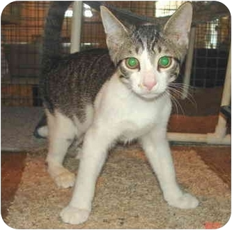 Domestic Shorthair Kitten for adoption in Colmar, Pennsylvania - Jerry-Pending