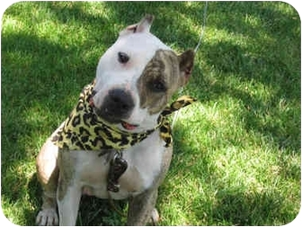 American Pit Bull Terrier/Pit Bull Terrier Mix Dog for adoption in Sacramento, California - Mia