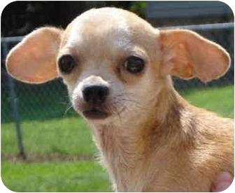 Chihuahua Dog for adoption in Pisgah, Alabama - Bitsy
