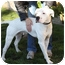 Photo 1 - American Bulldog/American Pit Bull Terrier Mix Dog for adoption in Berkeley, California - Donner