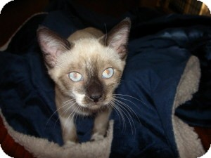 Siamese Kitten for adoption in Gilbert, Arizona - Chai