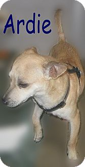 Chihuahua Mix Dog for adoption in Beaumont, Texas - Ardie
