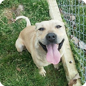 Pit Bull Terrier Dog for adoption in Lawrenceburg, Tennessee - Sweetie Pie