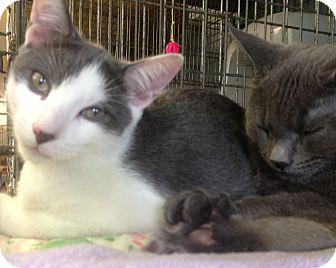 Domestic Shorthair Kitten for adoption in New York, New York - Wolfgang