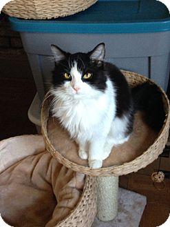 RagaMuffin Kitten for adoption in Farmington, Michigan - Eaowen