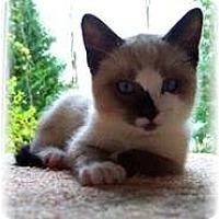 Adopt A Pet :: Angelica - Shelton, WA