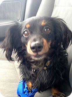 Dachshund Mix Dog for adoption in West Allis, Wisconsin - Julian