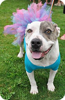 Pit Bull Terrier/Bulldog Mix Dog for adoption in Evans, Georgia - Gabby