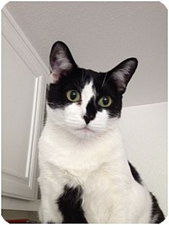 Domestic Shorthair Cat for adoption in Los Angeles, California - Betsy