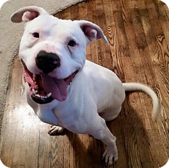 American Pit Bull Terrier Mix Dog for adoption in Knoxville, Tennessee - Buster