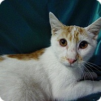 Adopt A Pet :: Chewie - Alexandria, VA