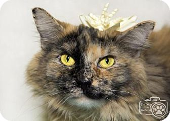 Domestic Longhair Cat for adoption in Divide, Colorado - Little Sue
