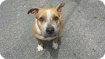 American Bulldog Dog for adoption in Palm City, Florida - China
