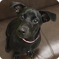 Adopt A Pet :: Jewels - Pocahontas, AR