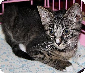 Domestic Shorthair Cat for adoption in Lovingston, Virginia - Janet