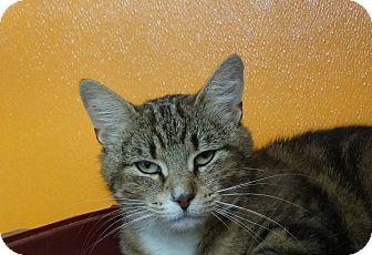 Domestic Shorthair Cat for adoption in Elyria, Ohio - Raspberry