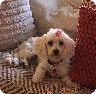 Maltese/Poodle (Miniature) Mix Puppy for adoption in Miami, Florida - Buffy