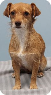 Terrier (Unknown Type, Medium)/Dachshund Mix Dog for adoption in Jupiter, Florida - Ainsley