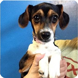 Beagle Mix Puppy for adoption in Pompton Lakes, New Jersey - Pocket beagle