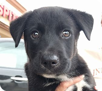 Border Collie/German Shepherd Dog Mix Puppy for adoption in Houston, Texas - Comet