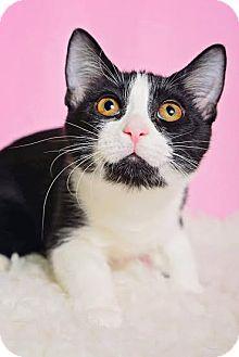 Domestic Shorthair Kitten for adoption in Chicago, Illinois - Lola