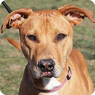 Labrador Retriever/American Staffordshire Terrier Mix Dog for adoption in Huntley, Illinois - Simon