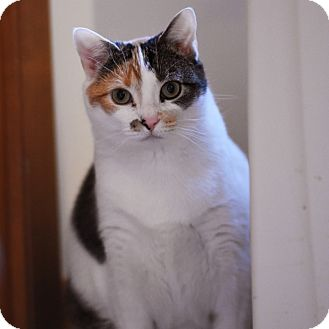 Domestic Shorthair Cat for adoption in Wheaton, Illinois - Charlotte