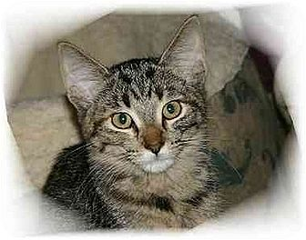 Domestic Shorthair Cat for adoption in Montgomery, Illinois - Betsy