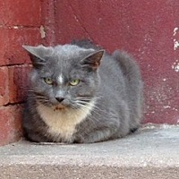 Domestic Shorthair Cat for adoption in New York, New York - Hayley Rose