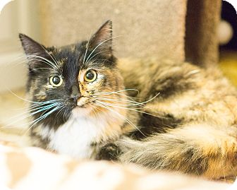 Calico Cat for adoption in Montclair, California - QUINN