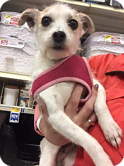 Terrier (Unknown Type, Small) Mix Dog for adoption in Surrey, British Columbia - Leeza