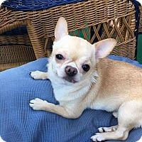 Adopt A Pet :: Touti - Pierrefonds, QC