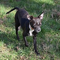 Adopt A Pet :: Whitney - Herndon, VA