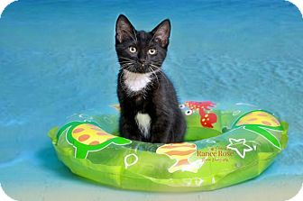 Domestic Shorthair Kitten for adoption in Sterling Heights, Michigan - Thunder