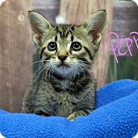 Adopt A Pet :: Pepper - Lebanon, MO