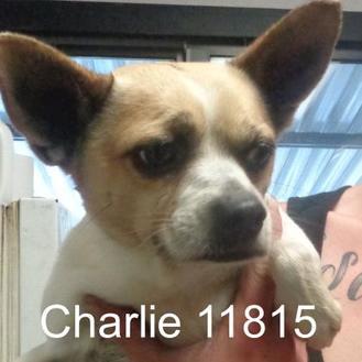 Boston Terrier/Chihuahua Mix Dog for adoption in Manassas, Virginia - Charlie