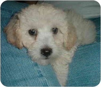 Poodle (Miniature) Mix Puppy for adoption in San Diego/North County, California - Streudel