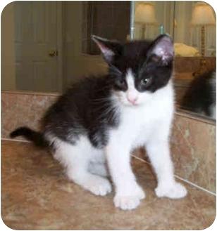 Hemingway/Polydactyl Kitten for adoption in Tampa, Florida - Hamilton