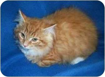 Domestic Longhair Kitten for adoption in Spencer, New York - Bubby